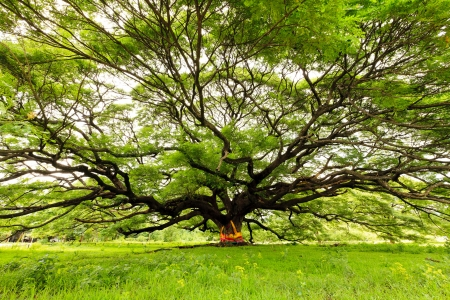 the largest: The Largest Monkey Pod Tree in Thailand
