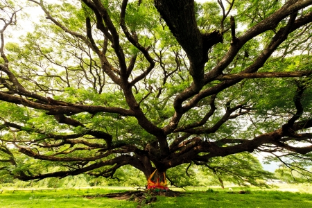 huge tree: The Largest Monkey Pod Tree in Thailand and its branch