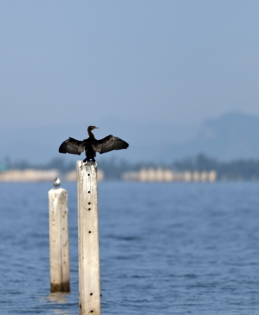 sequester: A Little Cormorant on post