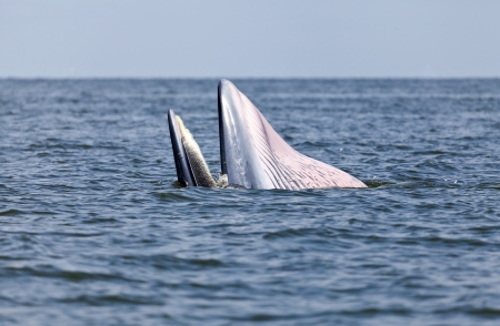 anchovy fish: Brydes whale eating anchovy fish in the gulf of Thailand
