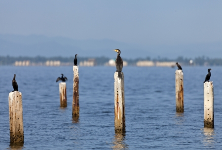 phalacrocoracidae: A Great Cormorant on post surrounded by Little Cormorant.