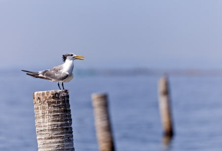 sequester: A Great Crested Tern on coconut stub.