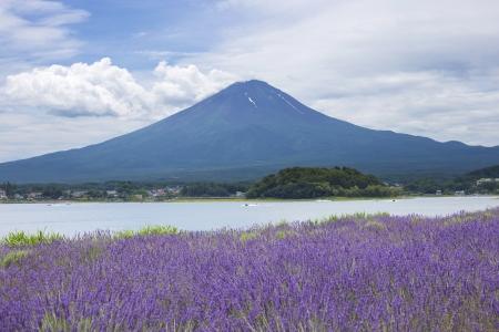 kawaguchi ko: Lavender field on the bank of lake Kawaguchi with Mt  Fuji as background Stock Photo