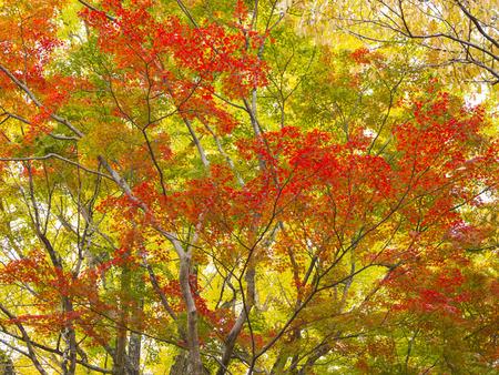 Colorful Japanese maple trees in Nara Park, Nara, Japan. photo