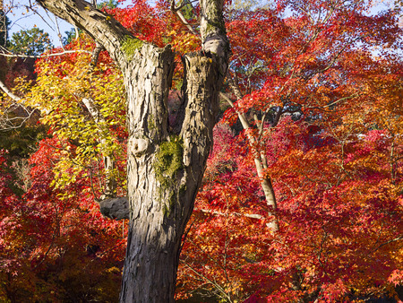Colorful Japanese maple trees in Tofukuji Temple, Kyoto, Japan. photo