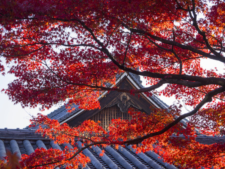 Japanese Maple leaves in autumn with roof of Japanese temple as background, Kyoto, Japan. Archivio Fotografico
