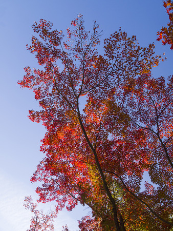 Colorful Japanese maple trees in autumn, Kyoto, Japan. photo