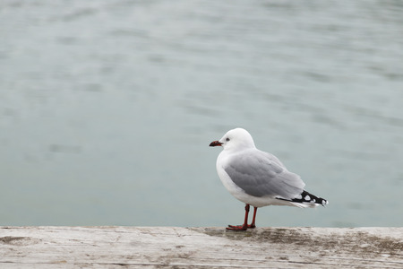 The black-billed gull (Chroicocephalus bulleri), also known as Buller Stock Photo - 34656760