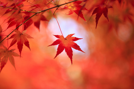 acer palmatum: Japanese Maple or Smooth Japanese Maple (Acer palmatum) leaf in autumn foliage.