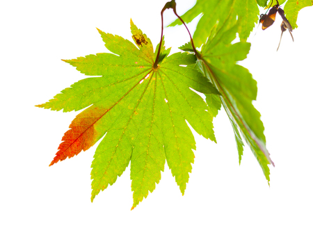 acer: Japanese maple leaves change its color from green to red in autumn isolated on white background