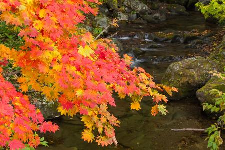 Colorful maple leaves in autumn, Mount Hakkoda, Aomori prefecture, Tohoku region, Japan.