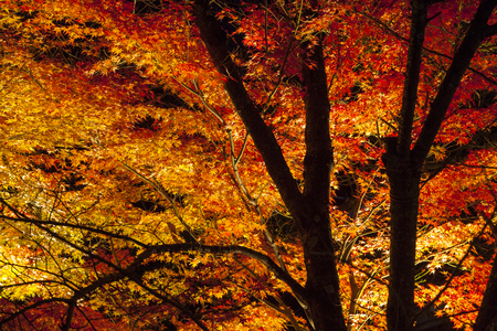 Light up on Colorful Japanese maple tree at night in autumn, Kyoto, Japan. Stock Photo