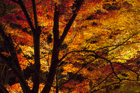 acer palmatum: Light up on Colorful Japanese maple tree at night in autumn, Kyoto, Japan. Stock Photo