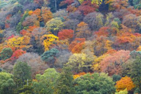 momiji: Blur background of Colorful autumn foliage Japanese forest, Arashiyama area, Kyoto, Japan. (Out of focus) Stock Photo