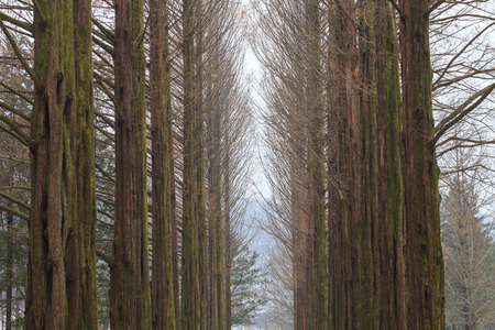 Row of the Metasequoia (dawn redwood) tree in winter.