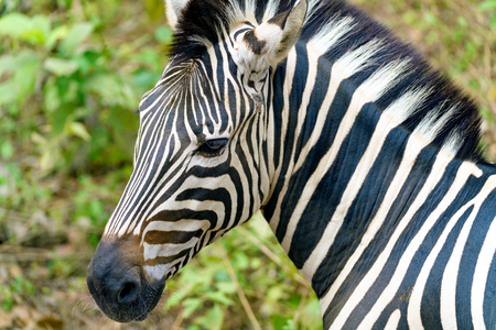 Zebra head shot with black and white striped. (Selective focus)