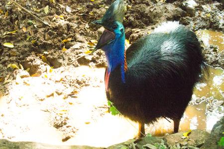 cassowary: cassowary