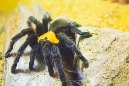 araneae: Giant Tarantula Stock Photo