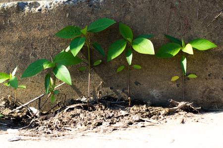 parasitic: parasitic plants