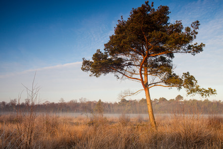moor: Pine in the Moor