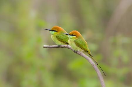 eater: Name Green Bee - eater. Bee hunter birds