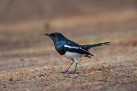 melodic: Oriental magpie robin. Melodic vocals birds.