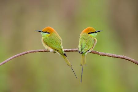 eater: Birds Name Green Bee - eater. Bee hunter birds. Stock Photo