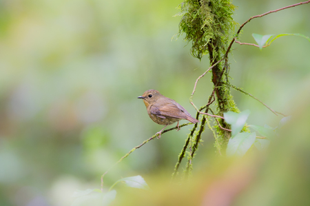 silver eared: Birds Name Snowy browed Flycatcher