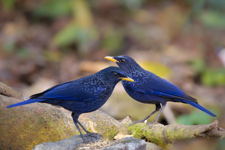 silver eared: Blue Whistling-Thrush together