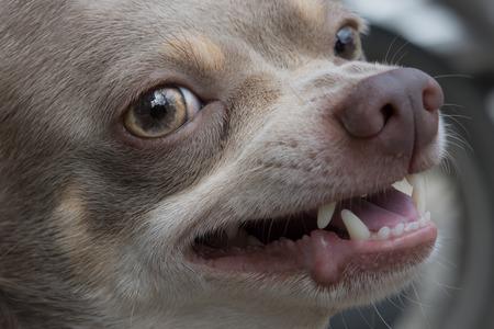 perro furioso: Es hora perro enojado. peligroso