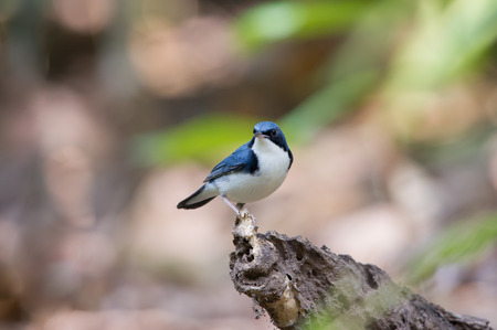 insectivorous: Birds Name:Siberian blue robin. This bird is a migratory insectivorous species breeding in eastern Asia across to Japan. It winters in southeast Asia and Thailand.
