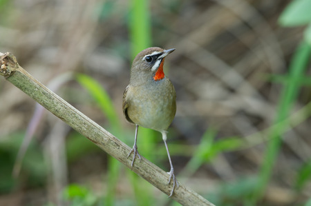 turdidae: The Siberian rubythroat Luscinia calliope is a small passerine bird that was formerly classed as a member of the thrush family Turdidae,