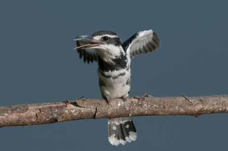 migrations: The pied kingfisher Ceryle rudis is a water kingfisher and is found widely distributed across Africa and Asia. Its black and white plumage,