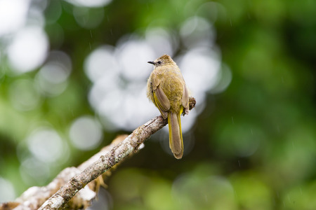 flavescens: The flavescent bulbul Pycnonotus flavescens is a species of songbird in the Pycnonotidae family. Its name comes from flavescent, a yellowish colour. Stock Photo
