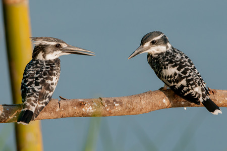 black plumage: The pied kingfisher Ceryle rudis is a water kingfisher and is found widely distributed across Africa and Asia. Its black and white plumage,