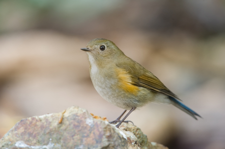 classed: The Himalayan bluetail or Himalayan red-flanked bush-robin Tarsiger rufilatus is a small passerine bird that was formerly classed as a member of the thrush family Turdidae,