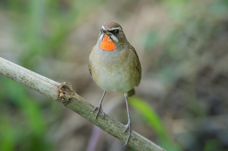 classed: The Siberian rubythroat Luscinia calliope is a small passerine bird that was formerly classed as a member of the thrush family Turdidae,