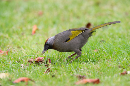 laughingthrush: Silver-eared Laughingthrush