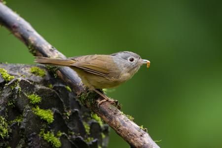 mesia: Bird Name Grey cheeked Fulvetta Stock Photo