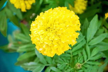 Natural blooming marigolds, some blurred images