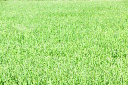 Green rice fields, full area Standard-Bild - 150265395
