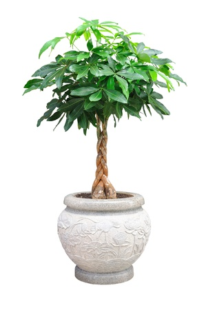 potted: asian small decorative tree isolated on white