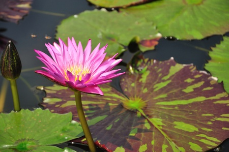 pink color lotus blooming in pond And bee photo