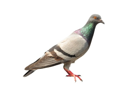 white pigeon: pigeon isolated