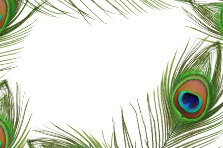 piuma di pavone: Cornice di occhio piuma di pavone su sfondo bianco