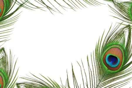 pluma blanca: Marco de ojo pluma de pavo real en el fondo blanco