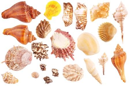 Shells Sammlung isoliert auf weißem Hintergrund Standard-Bild - 15915058