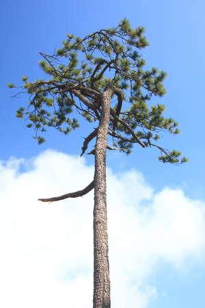 big top: Big tree with nice sky on top of mountain.