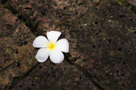 brawn: Plumeria on Brawn Brick in garden