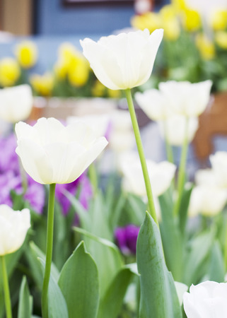 Close up of White Tulips blooming background photo